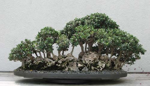 Bonsai da interno e da esterno
