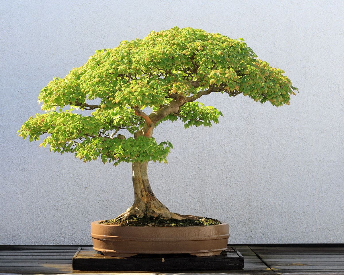 bonsai betulla