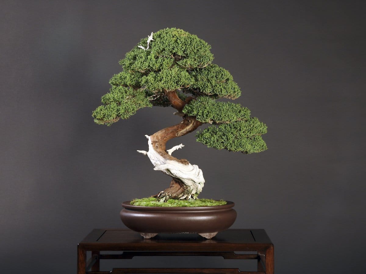 Bonsai bosso