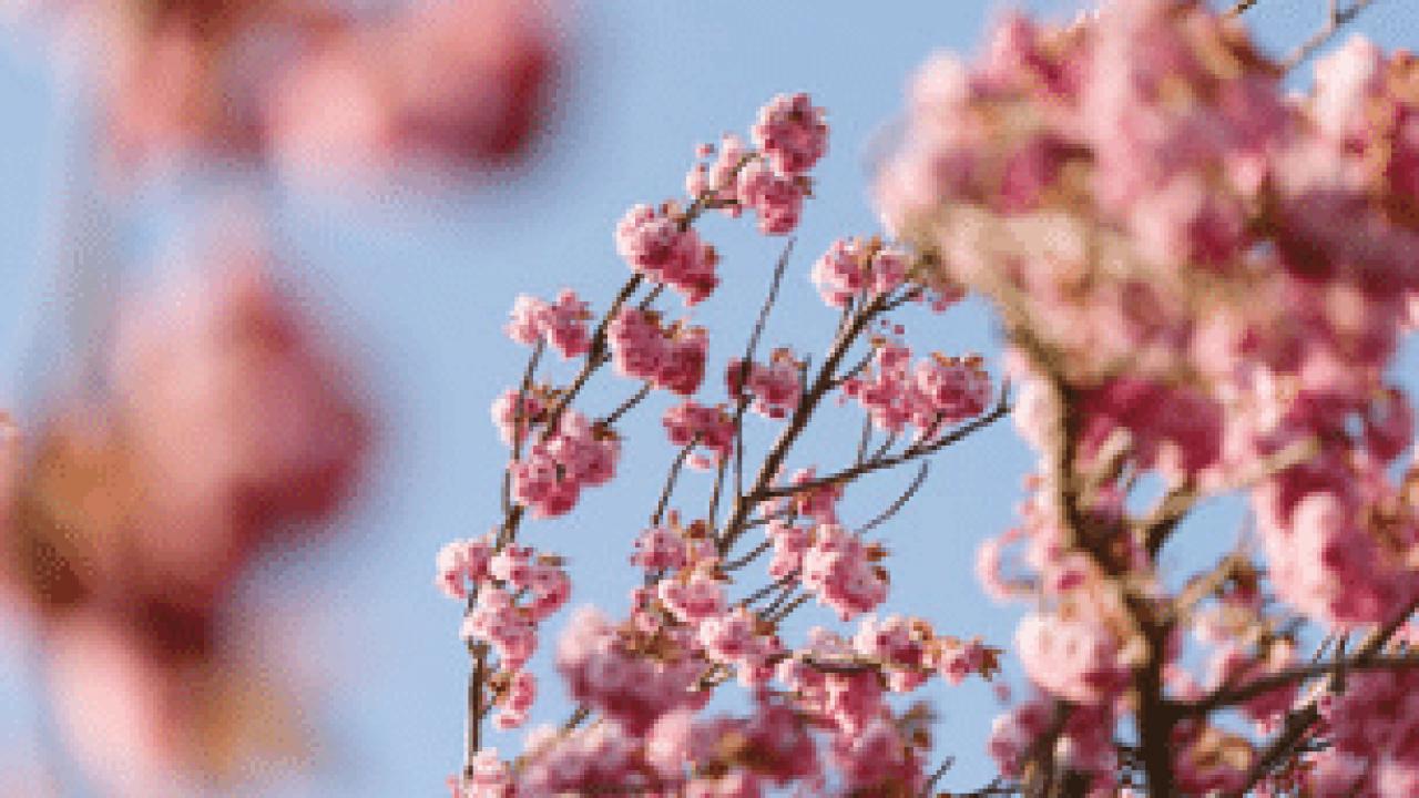Trattamenti Ciliegio Calendario.Bonsai Ciliegio E Ciliegio Giapponese Prezzo Come Crearlo