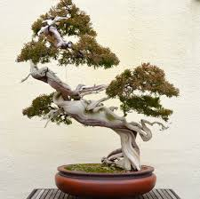 bonsai melo
