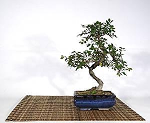 Bonsai olmo cinese hobby bonsai for Tipi di bonsai