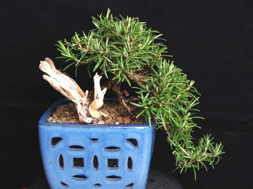 bonsai rosmarino