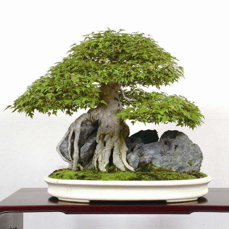 come curare un bonsai