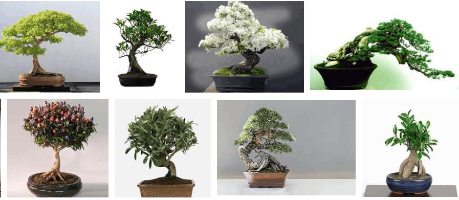 esempi bonsai