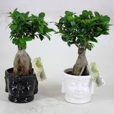 bonsai ficus ginseng hobby bonsai. Black Bedroom Furniture Sets. Home Design Ideas