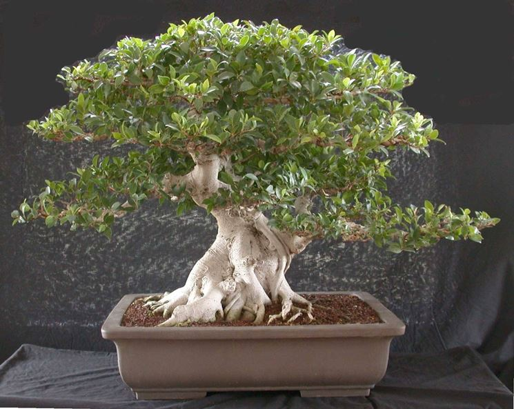 Bonsai Ficus microcarpa