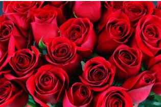 talea di rosa