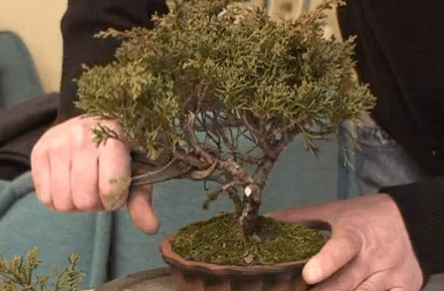 potare bonsai